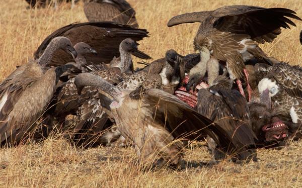 http://www.newscientist.com/blogs/onepercent/2012/01/vultures-skeletonise-corpse-in.html